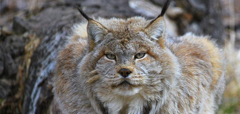 image: big kitty at the zoo